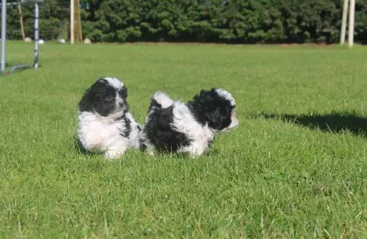Shihpoo Puppies Ready